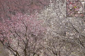 城山4-桜とメジロ のコピー.jpg