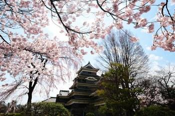 松本城桜Apr2_00001DSC_7455 のコピー.jpg