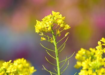 菜の花Apr8a のコピー.jpg