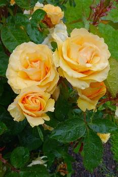 薔薇2 のコピー.jpg
