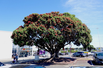 1ニュージーランドクリスマスツリー のコピー.jpg