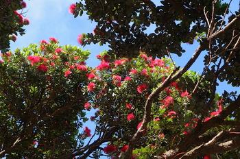 2ニュージーランドクリスマスツリーの花 のコピー.jpg